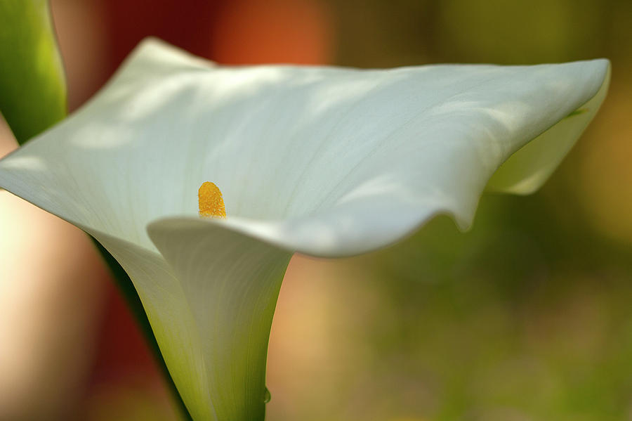 Calla Photograph - White Calla by Heiko Koehrer-Wagner