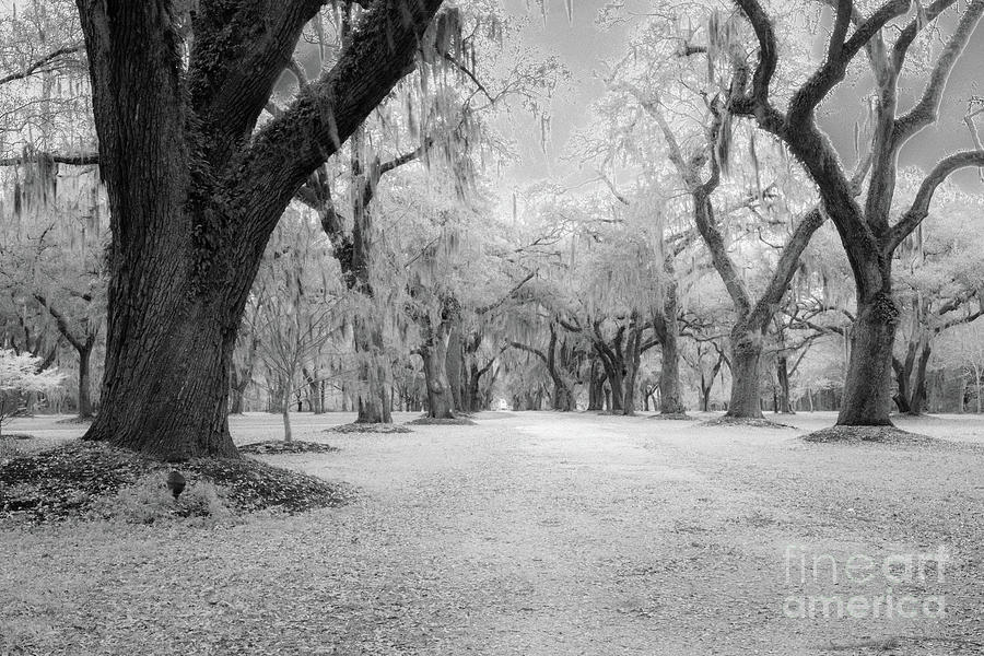 Spooky Live Oak Tree Allee Photograph