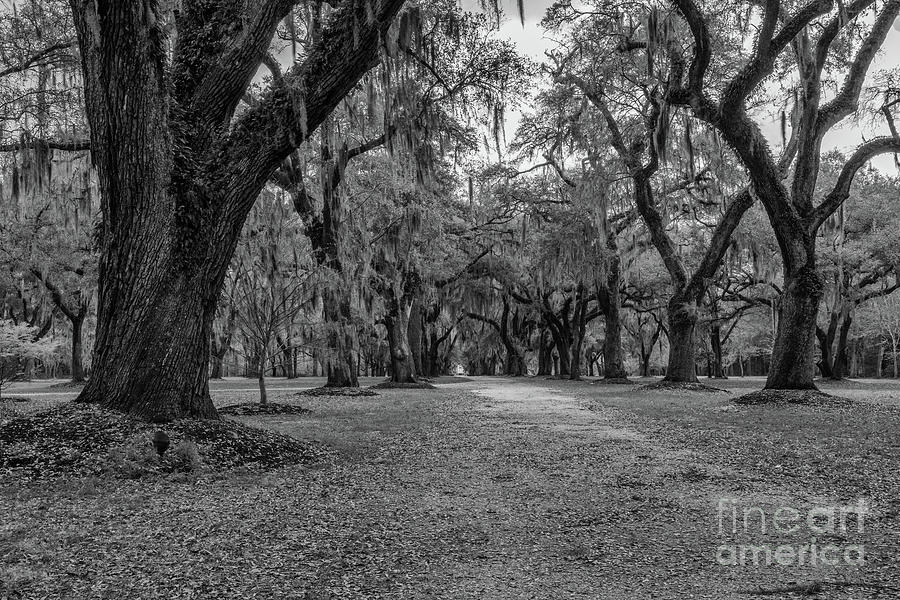 Allee Of Trees Photograph