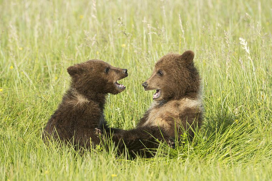 ... Photograph - Grizzly Bear Ursus Arctos Horribilis by Daisy Gilardini