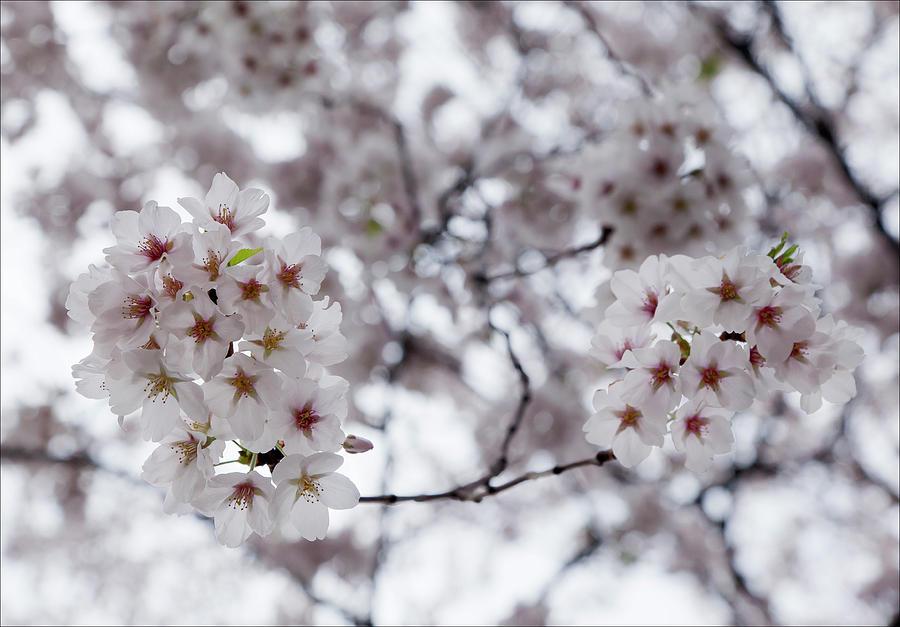 Cherry Blossom Photograph - Cherry Blossoms by Robert Ullmann