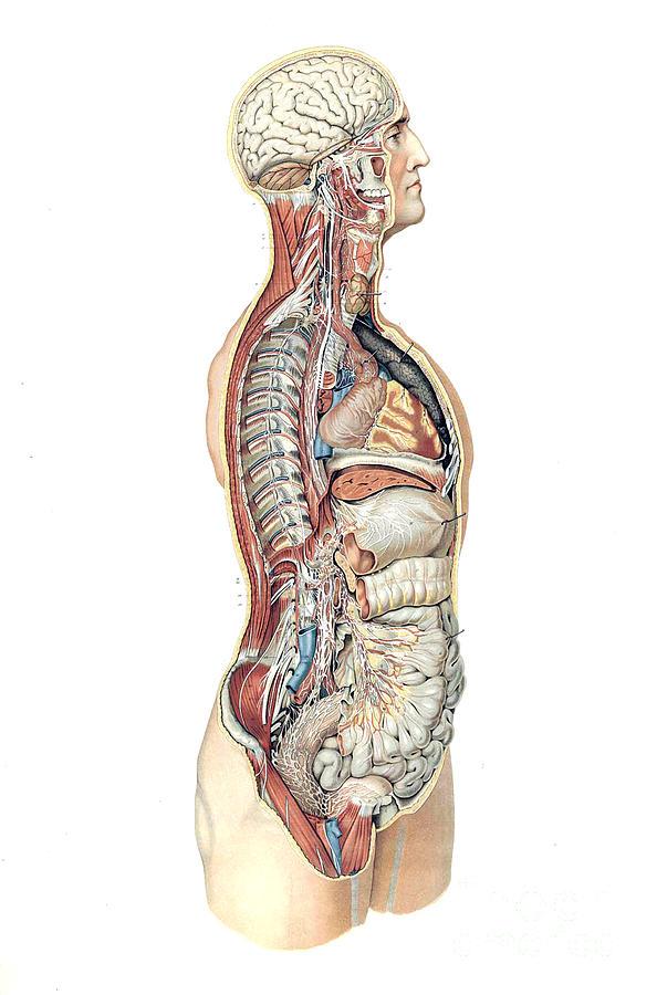 Anatomie du corps humain laskowski photograph by science for Interieur du corps humain photo