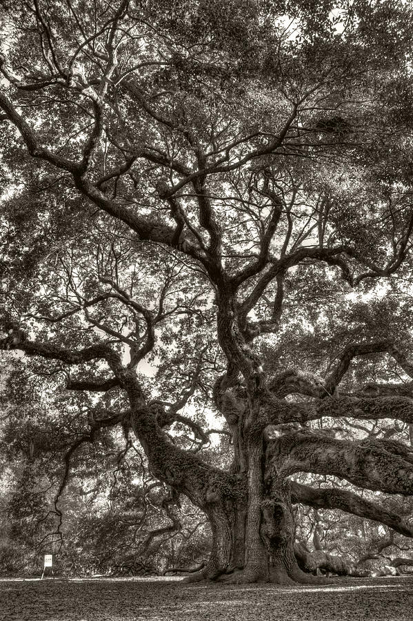 Angel Oak Photograph - Angel Oak Live Oak Tree by Dustin K Ryan
