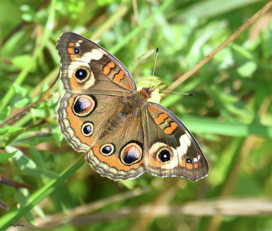 Buckeye Photograph - A... Blue Buckeye Butterfly