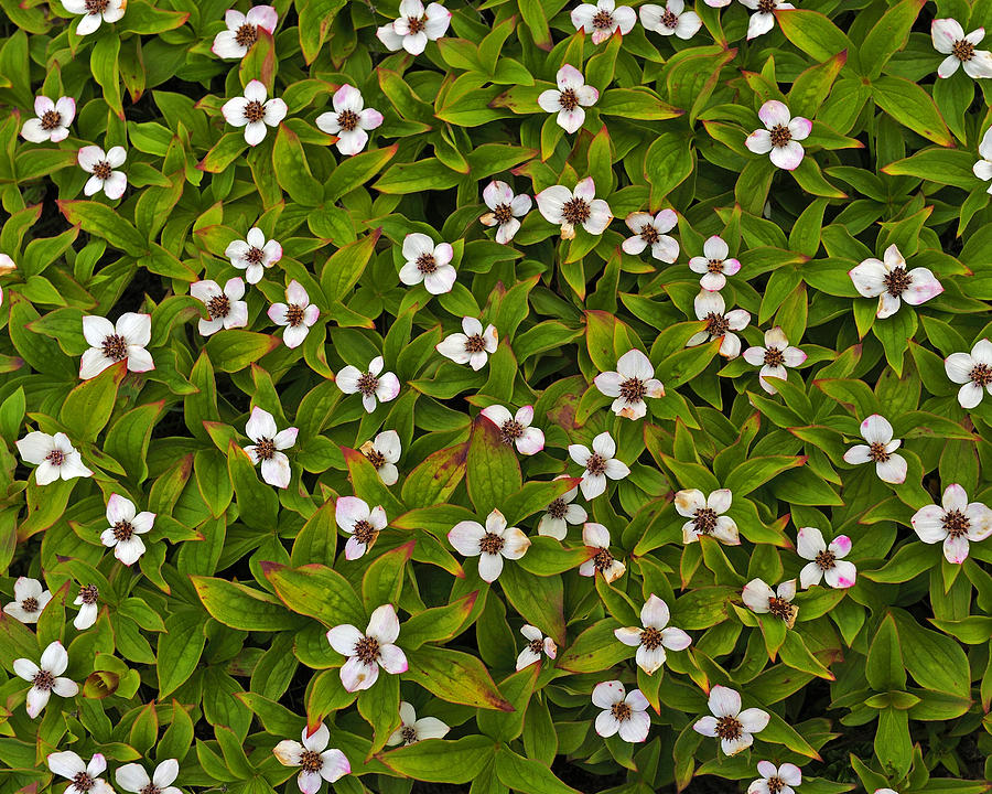 Cornus Canadensis Photograph - A Bunch Of Bunchberries by Tony Beck