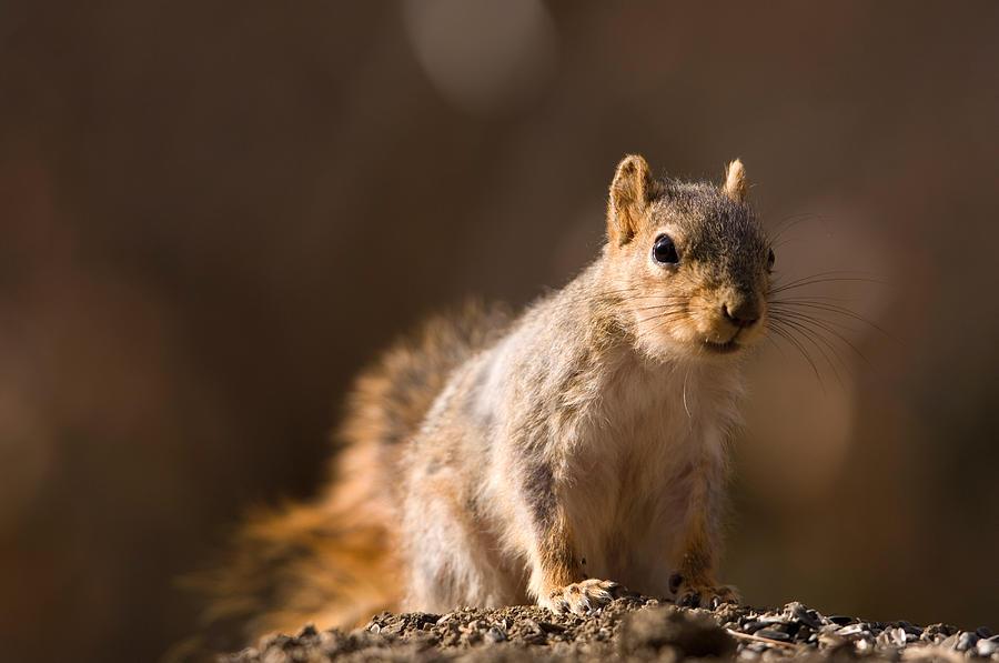 A Close-up Of A Fox Squirrel Sciurus Photograph