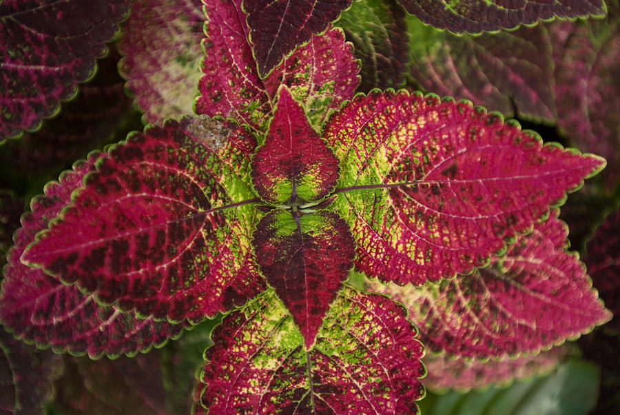 garden design garden design with coleus, coleus plants, coleus, Natural flower