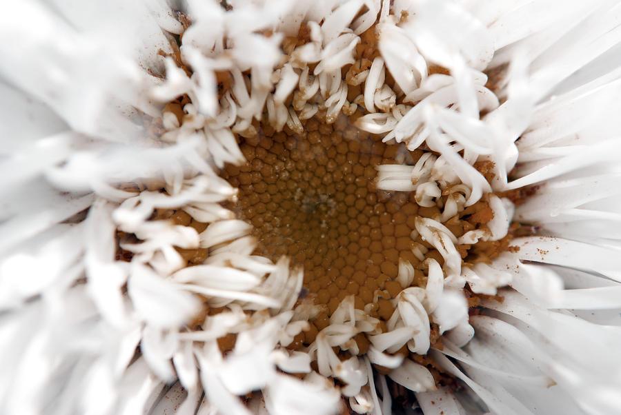 Daisy Photograph - A Daisy by Bransen Devey