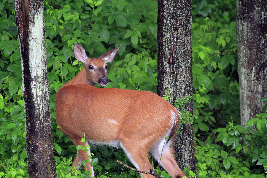 Deer Photograph - A Doe Within The Trees by Karol Livote
