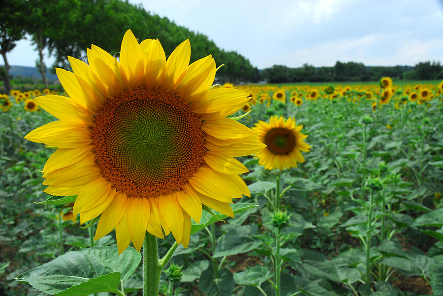 sunflower field picture blooming - photo #17