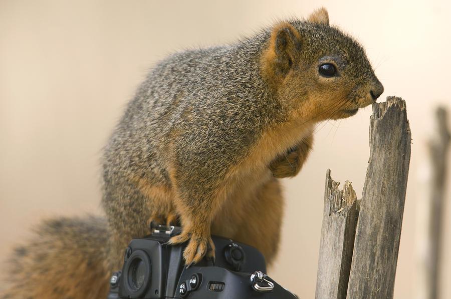 Photography Photograph - A Fox Squirrel Sciurus Niger Sits by Joel Sartore