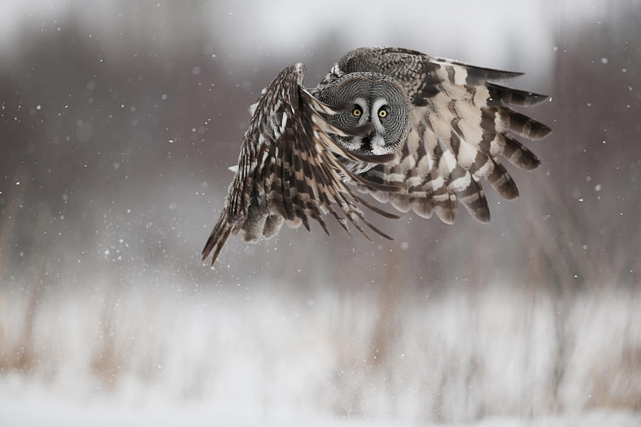 Great Grey Owl Flying Great Gray Owl Photographs - A