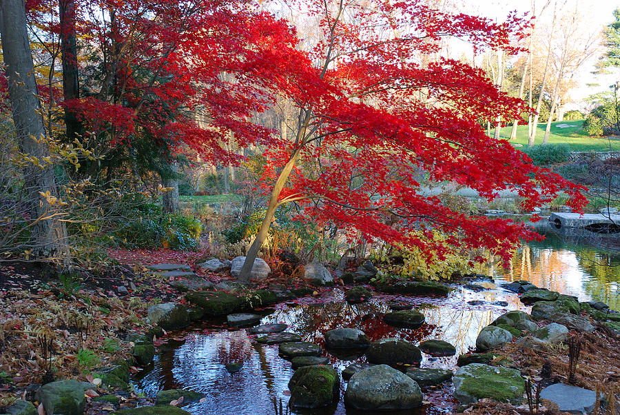 Acer Palmatum Photograph - A Japanese Maple With Colorful, Red by Darlyne A. Murawski