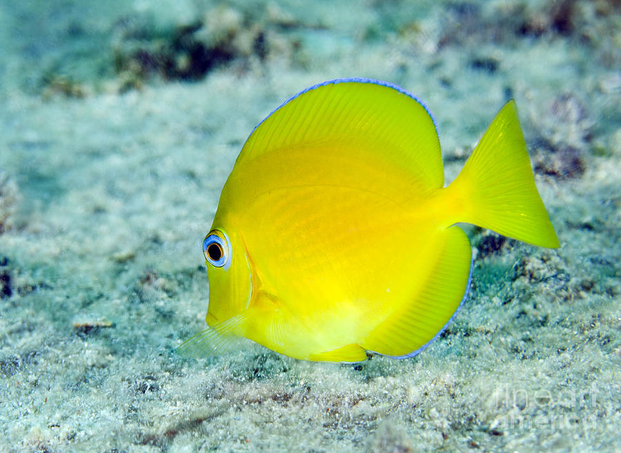 Sea Life Photograph - A Juvenile Blue Tang Searching by Terry Moore