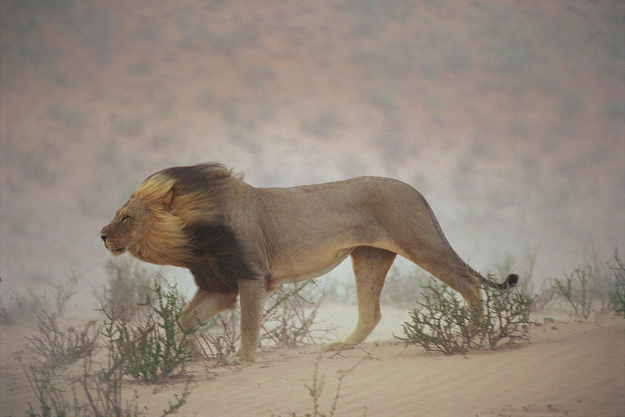 Kalahari Gemsbok National Park Photograph - A Lion Pushes On Through A Gritty Wind by Chris Johns