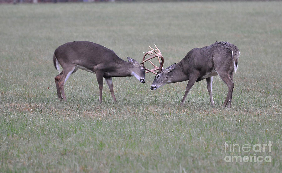 Bucks Photograph - A Little Dispute by Todd Hostetter
