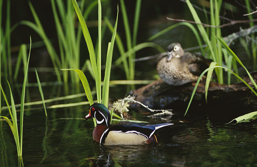 A Male Wood Duck Swims Past Its Mate Photograph