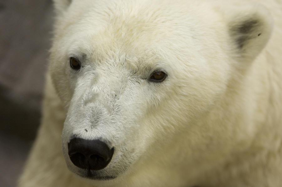 Photography Photograph - A Polar Bear At The Henry Doorly Zoo by Joel Sartore