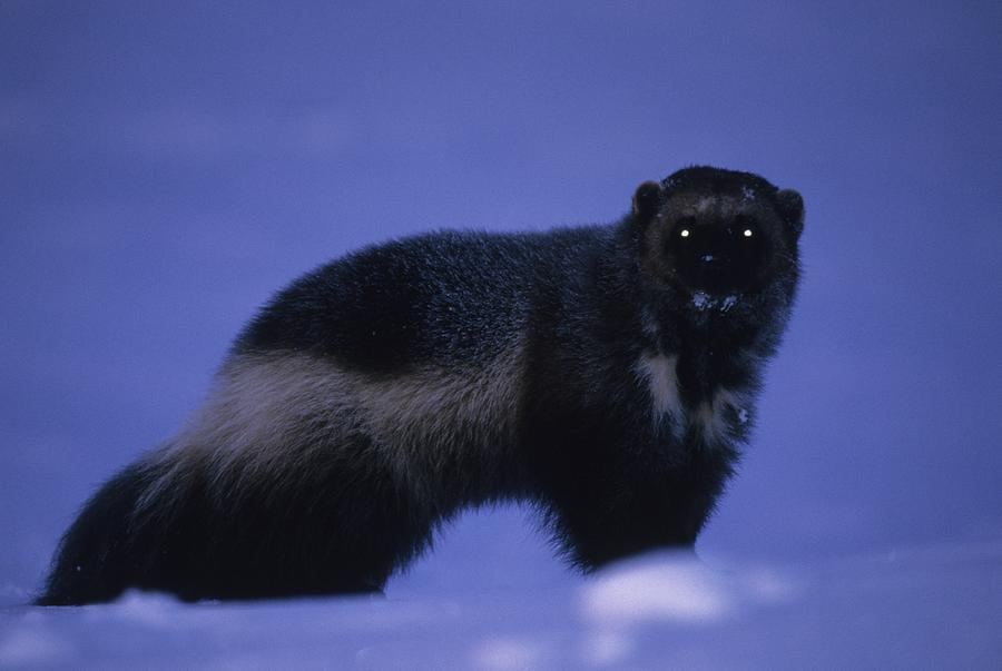Animals Photograph - A Portrait Of A Wolverine In The Arctic by Paul Nicklen