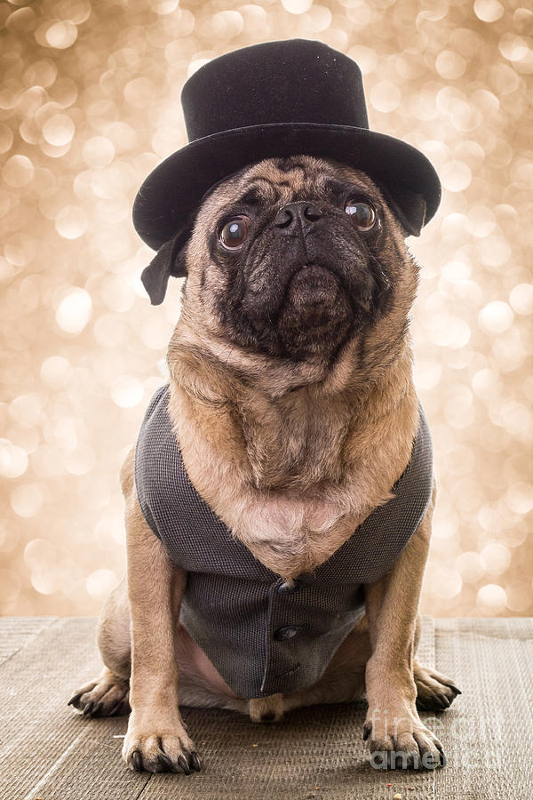 Pug Photograph - A Star Is Born - Dog Groom by Edward Fielding