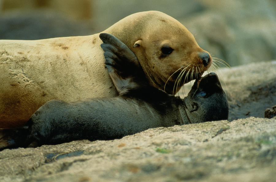 Lowrie Island Photograph - A Steller Sea Lion Cow Eumetopias by Joel Sartore