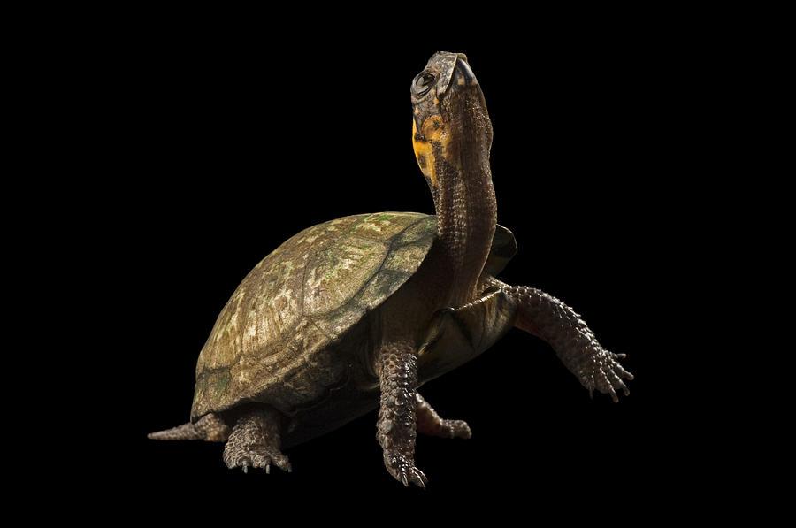 Studio Shot Photograph - A Threatened Bog Turtle At Zoo Atlanta by Joel Sartore