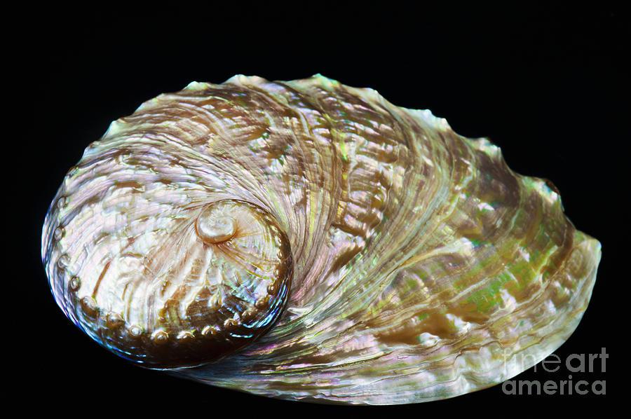 Abalone Photograph - Abalone Shell by Bill Brennan - Printscapes