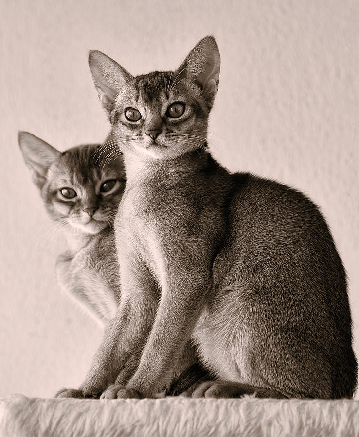 Cat Photograph - Abyssinian Kittens by Ari Salmela