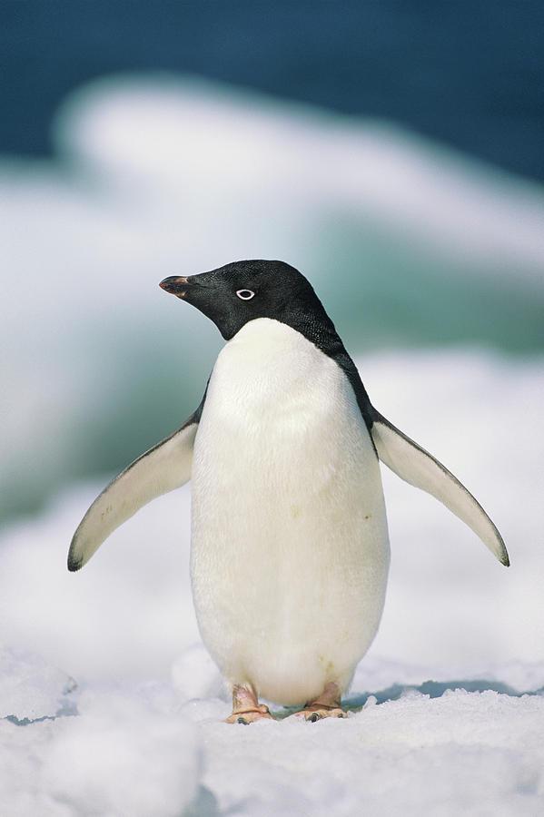 Adelie Penguin, Close-up Photograph