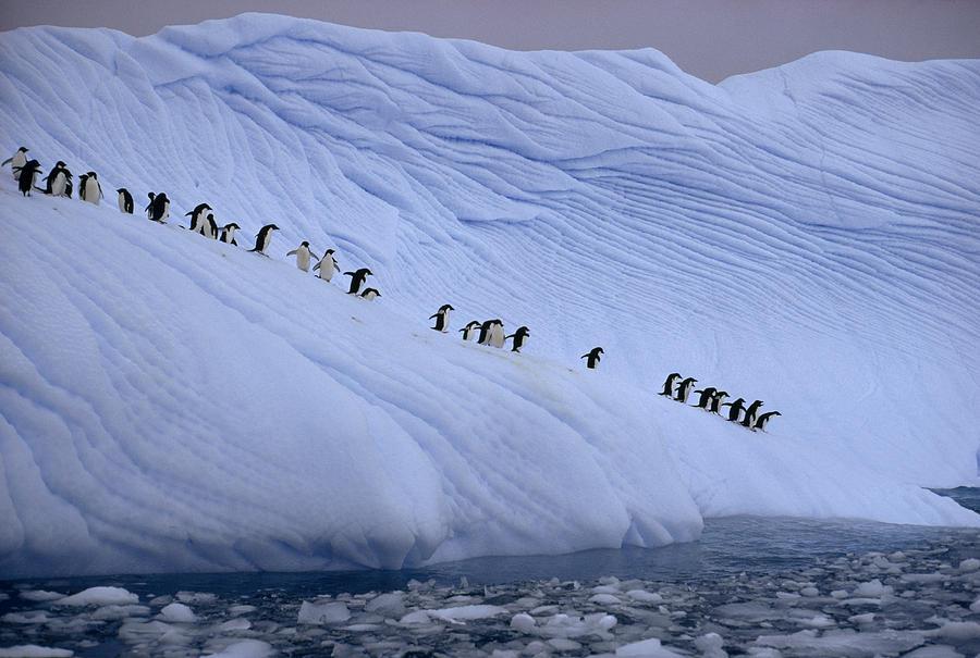 Outdoors Photograph - Adelie Penguins Totter Single File by Des &Amp Jen Bartlett