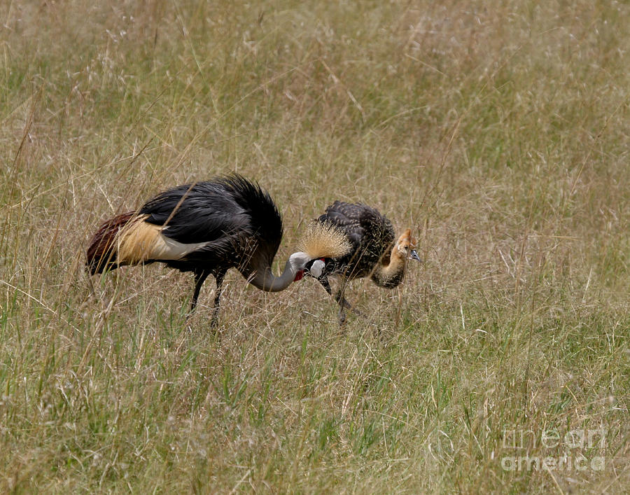 Grey Crown Crane Photograph - African Grey Crowned  Crane With Chick by Joseph G Holland