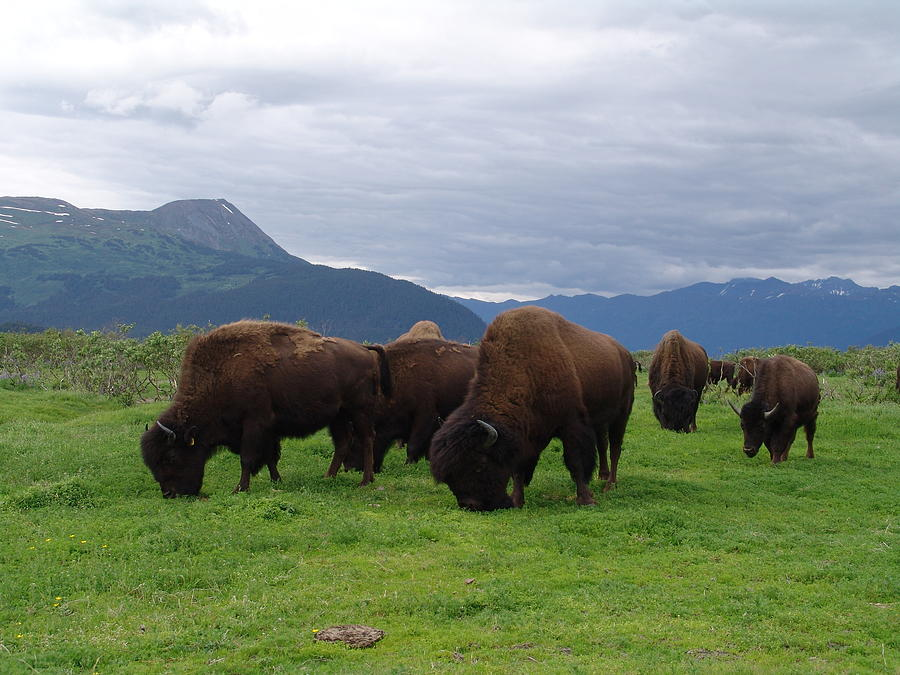 Alaska Wood Bison Photograph