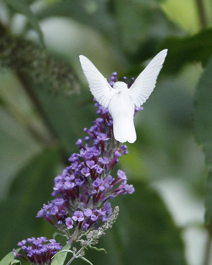 Albino Ruby-throated Hummingbird Photograph