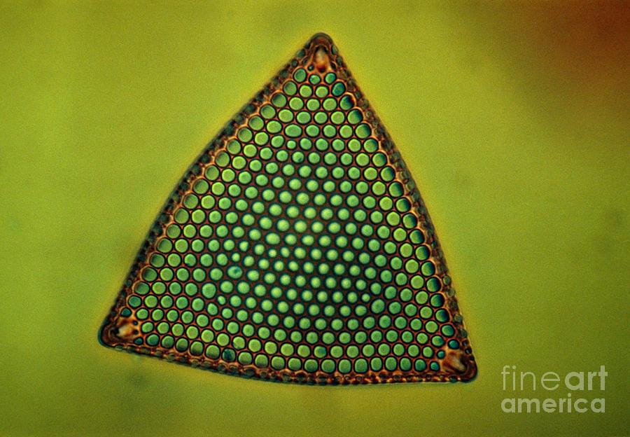 Light Micrograph Photograph - Algae, Diatom, Triceratium Ladus, Lm by Eric Grave