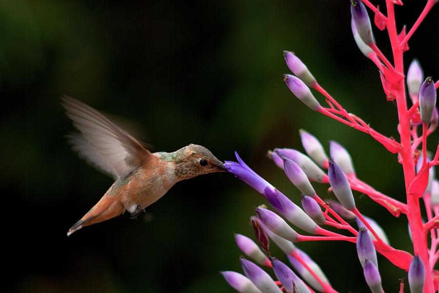 Allen's Hummingbird Photograph - Allens Hummingbird At Breakfast by Mike Herdering