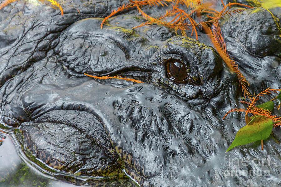 Alligator Close-up Portrait Photograph