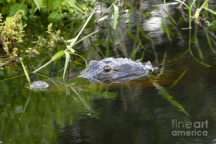 Alligator Photograph - Alligator Hunting by David Lee Thompson
