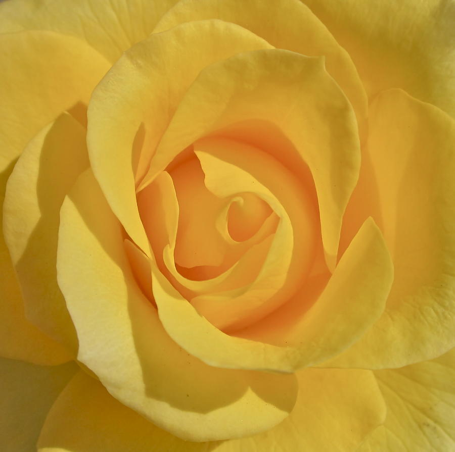 Photograph Or Yellow Rose Photograph - Amarillo by Gwyn Newcombe