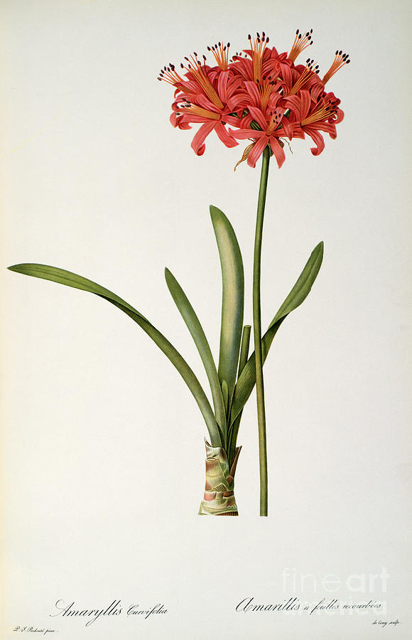 Amaryllis Drawing - Amaryllis Curvifolia by Pierre Redoute