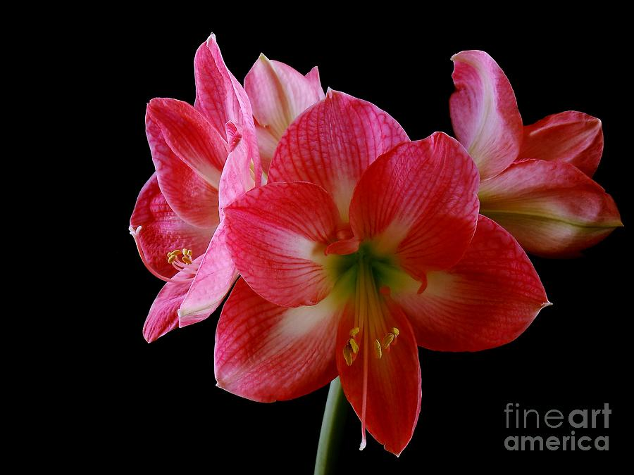 Amaryllis Photograph - Amaryllis by The Stone Age