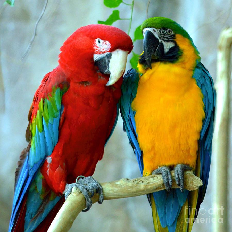 Amazon Parrots Photograph - Amazon Parrots by Dani Stites