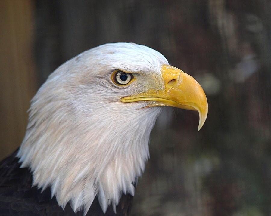 American Eagle Photos Photograph - American Bald Eagle by Peter Gray