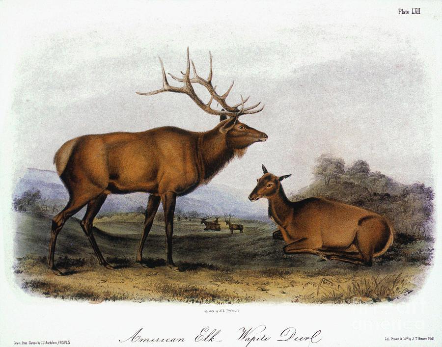 American Elk, 1846 Photograph