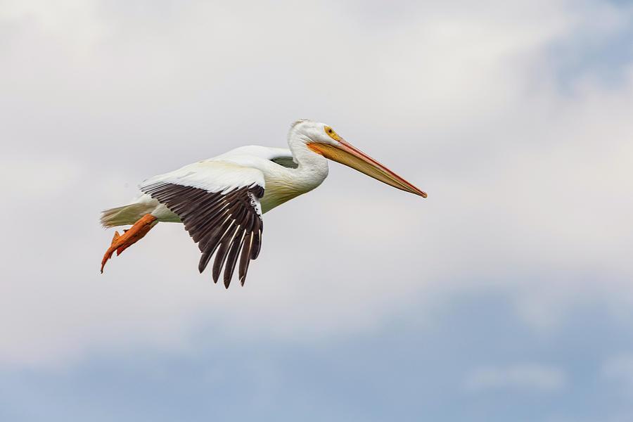American White Pelican Cruising Photograph
