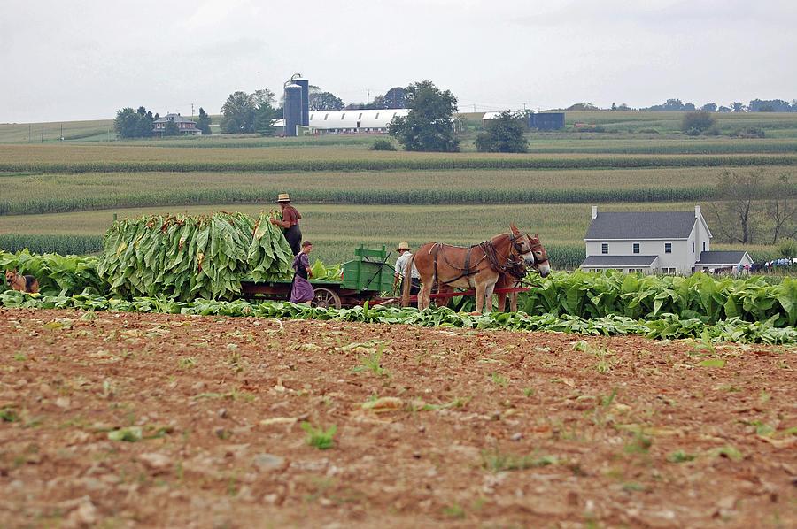 Amish Farm Harvest Photograph