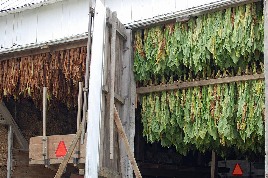 Amish Tobacco Harvest Photograph