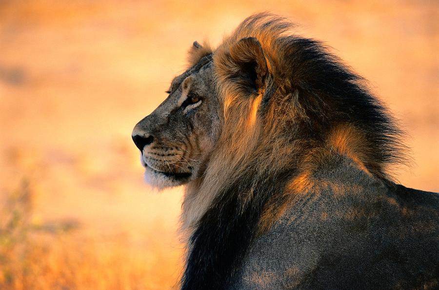 Color Image Photograph - An Adult Male African Lion, Panthera by Nicole Duplaix