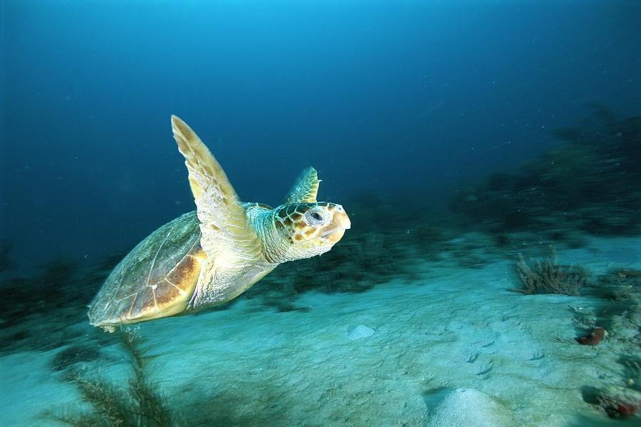 North America Photograph - An Endangered Loggerhead Turtle by Brian J. Skerry