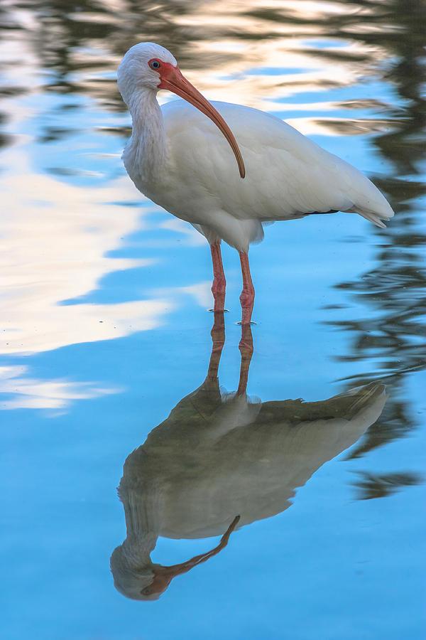 An Ibis Reflecting Photograph