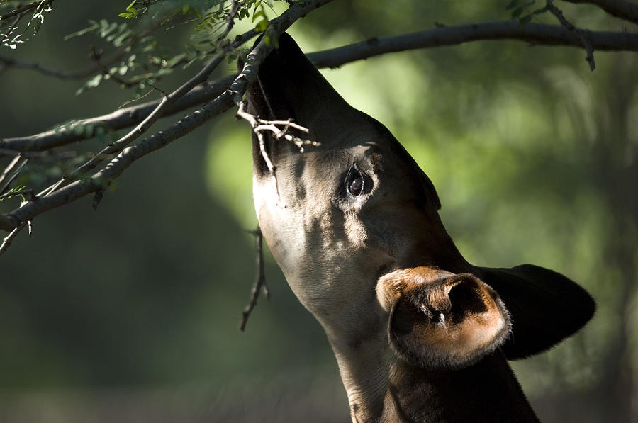 Photography Photograph - An Okapi Reaches For A Little Snack by Joel Sartore